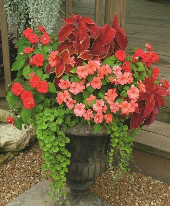 Urn Planting Creeping Jenny Coleus Impatiens And Begonia Container Gardening Flowers Container Gardening Container Plants