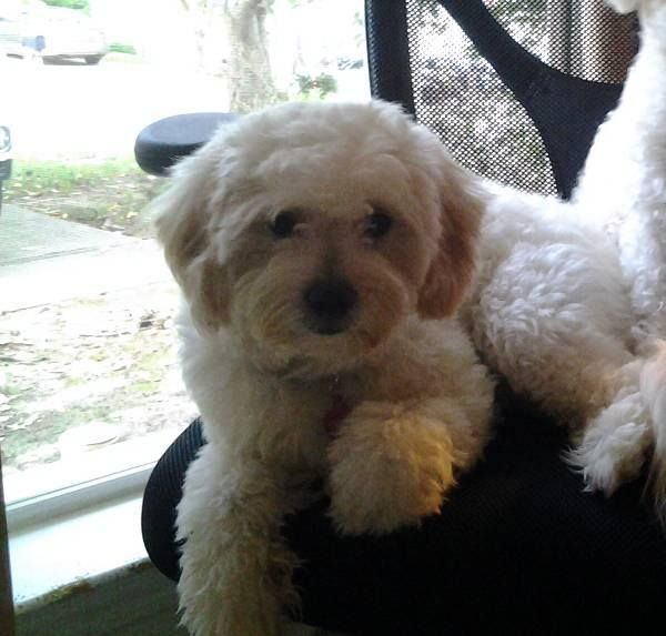 Lost Dog Alert In Gainesville Ga White Cream Mixed Breed On 8 29