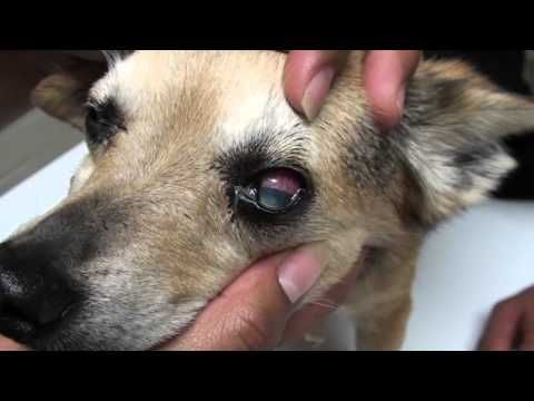 Dog Eye Infections Eye Infections In Dogs Youtube Eye Infection In Dogs Eye Infections Dog Eyes