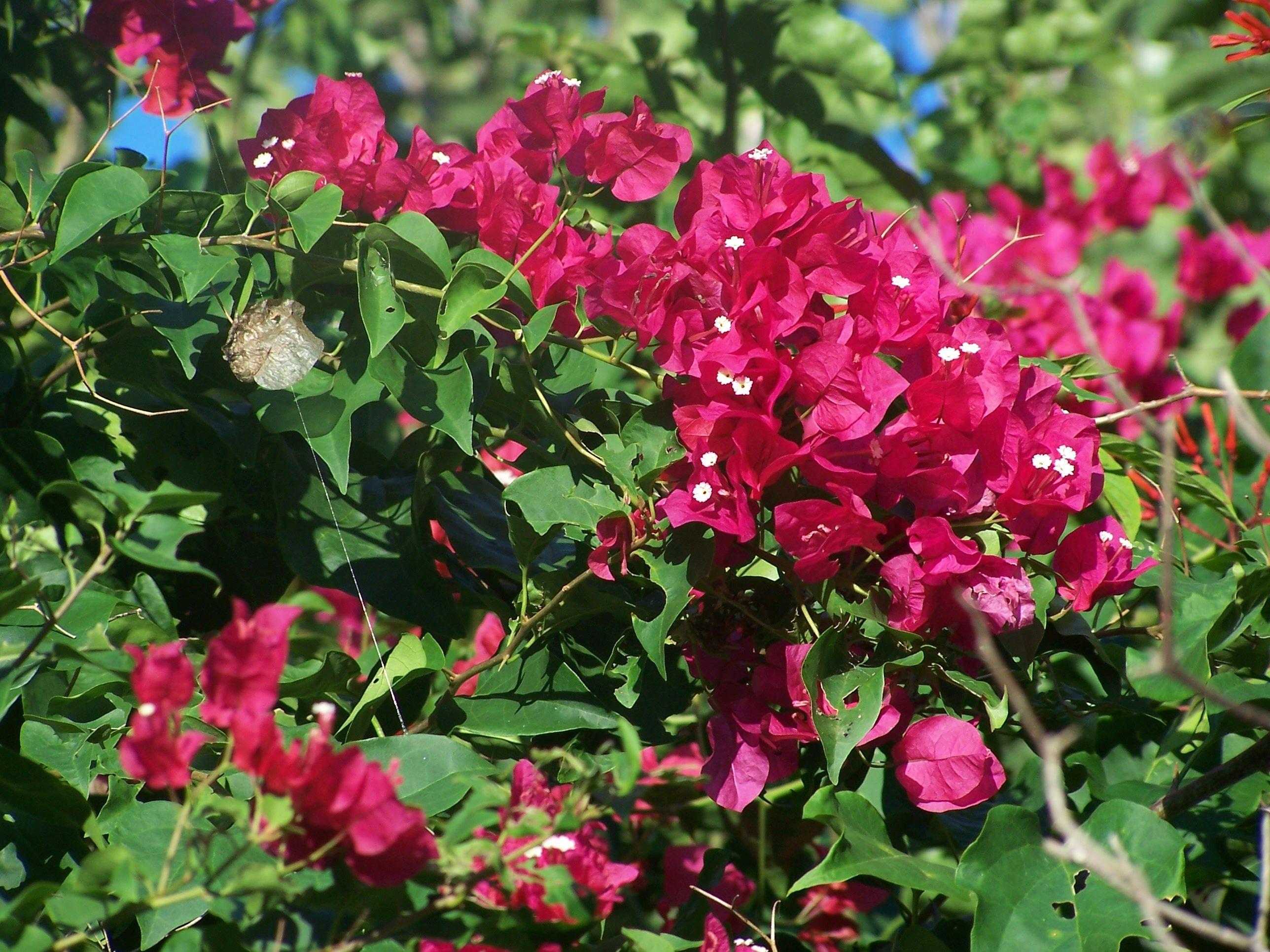 bougainvillea | Gardening | Pinterest | Bougainvillea, Plants and Yards