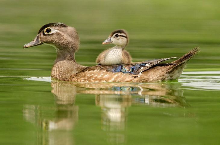 Древесная утка | Птицы, Утки и Фотографии