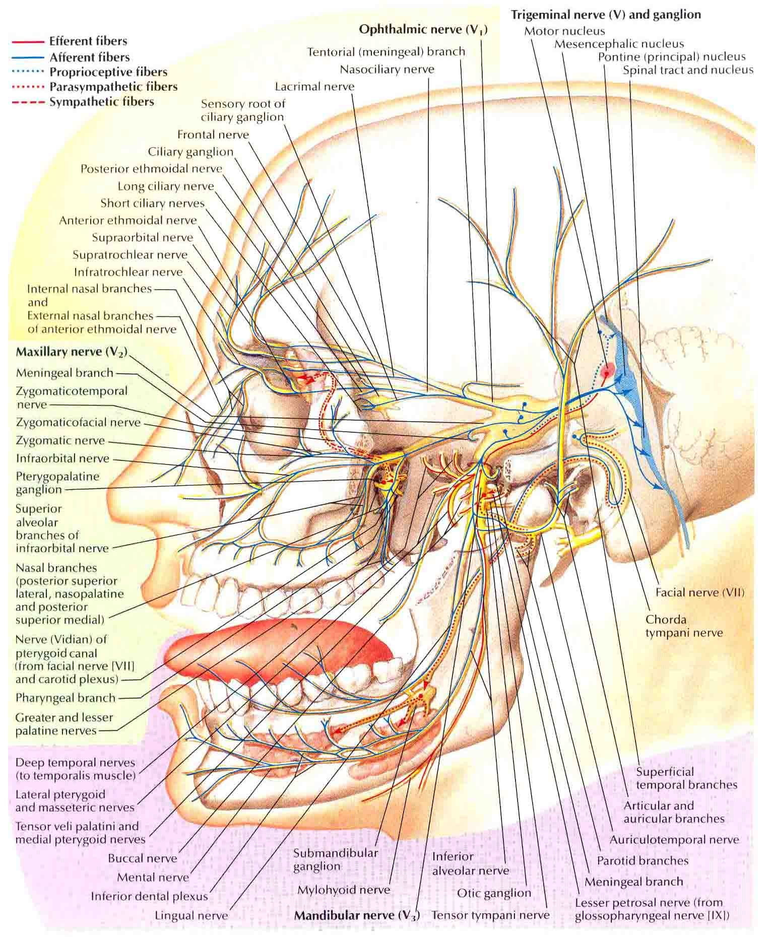 Trigeminal Nerve-Schema | Trigeminal neuralgia, Anatomy and Dental