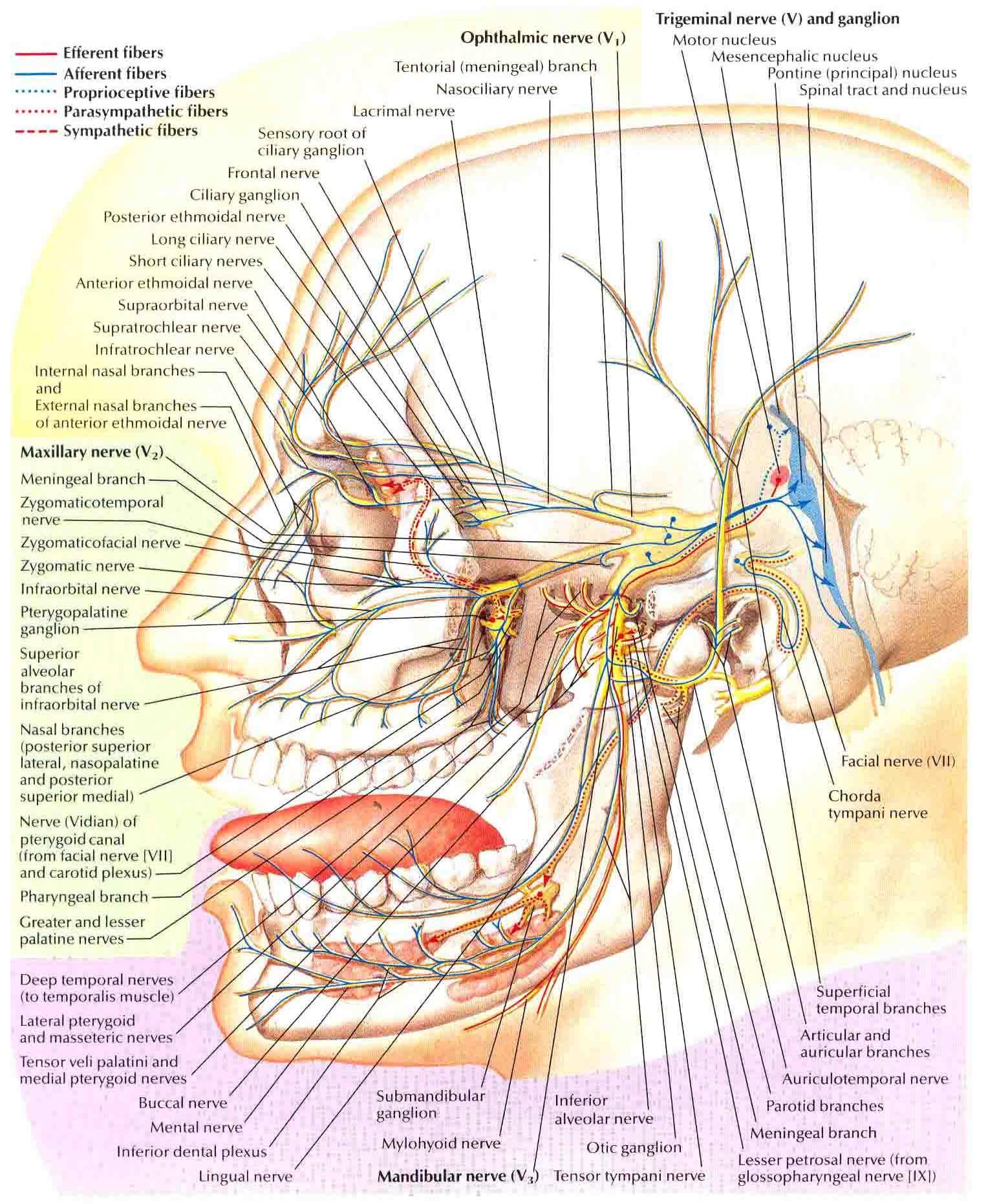 Trigeminal Nerve-Schema | Pain d'epices, On and Trigeminal neuralgia
