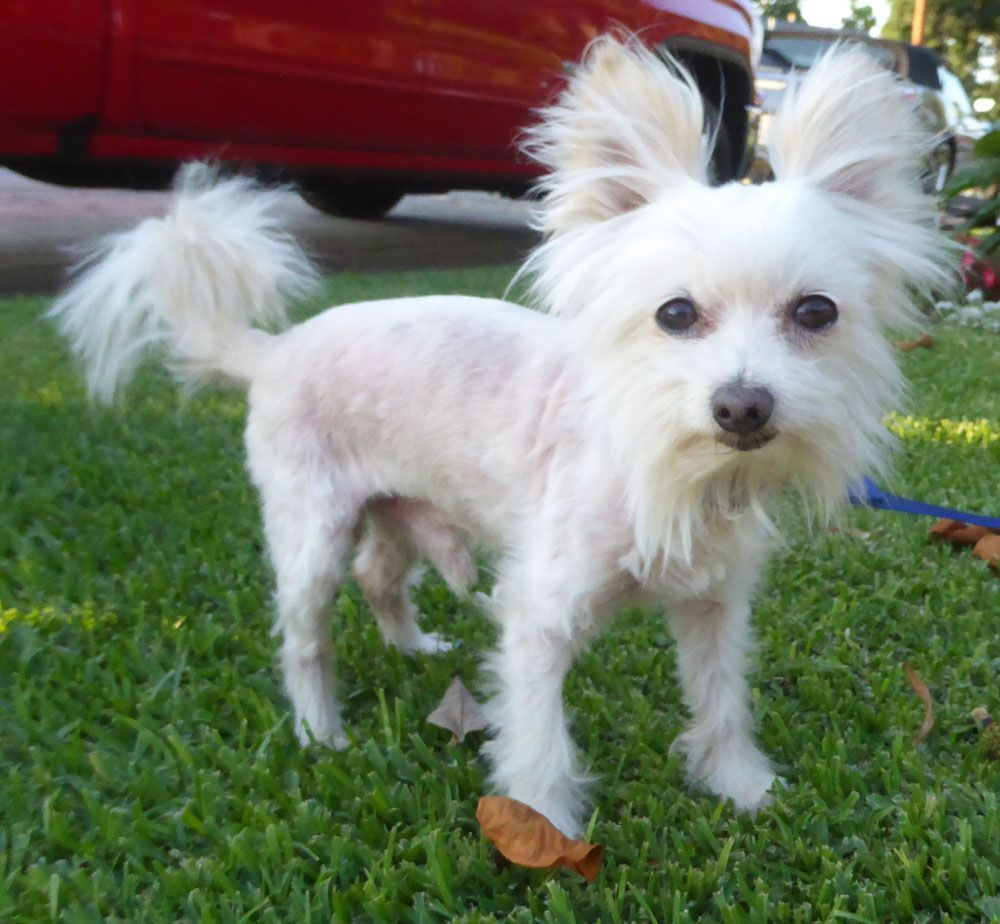 Papitese Dog For Adoption In Seattle Wa Adn 584587 On