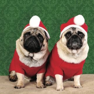 Pug dogs dressed as Santa. #Charity #Christmas card in aid of @mariecuriestore