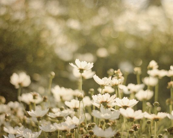 Dreamy Flower Photography Daisy Photograph By PureNaturePhotos