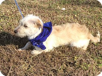 Albany Ny Cairn Terrier Mix Meet Griffin A Puppy For Adoption