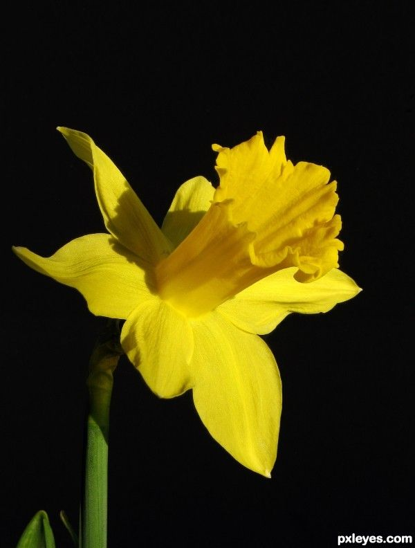 Google Image Result for http://www.pxleyes.com/images/contests/national-eblems/fullsize/Daffodil-4d3b43f492e3a.jpg
