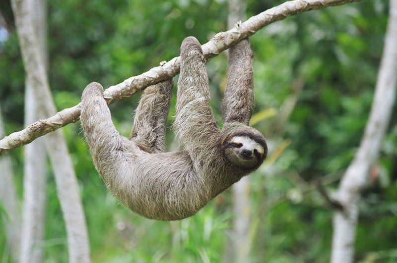 sometimes a sloth is grabbing its own arm whilst thinking it is a