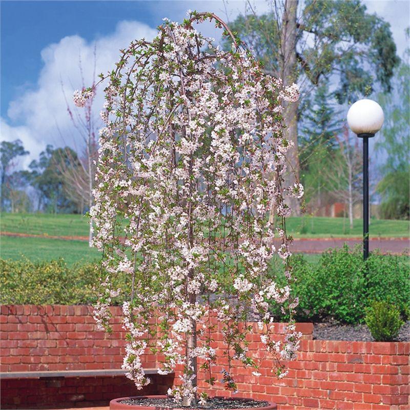 Plant Prunus Snofozam Bagged Tall Snow Fountains Plants Fountains Trees To Plant