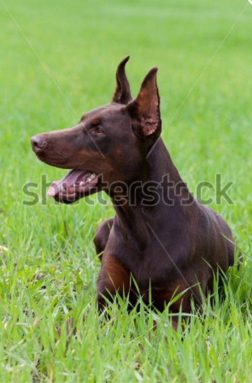 Doberman Dobermann Pinscher Doberman
