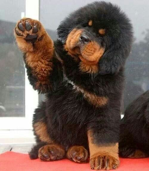 Best Dogo Chubby Adorable Dog - 914e23177839cca8a6231c3521eb80db  Image_605436  .jpg