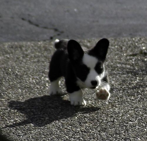 Cardigan Welsh Corgi Puppy Pics Cute Puppy Images Pictures Cute Puppies Images Corgi Dog Corgi