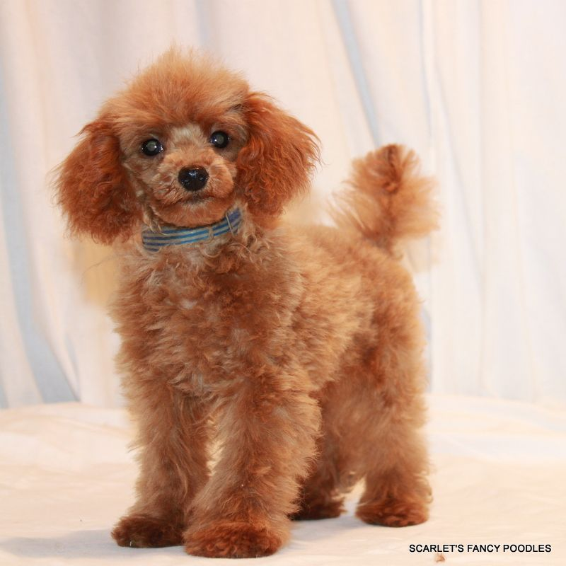Holly and Spike Dark Apricot poodle,. Red and Apricot