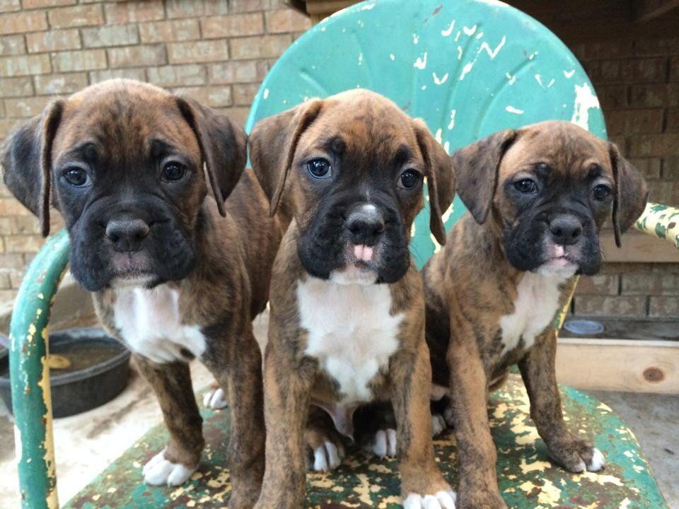 Brindle Boxer pups