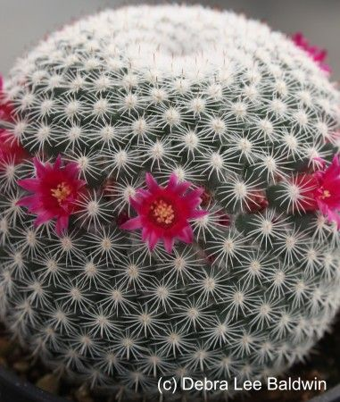 Cactus flower - this is a blog documenting a lot of succulent projects by Debra Lee Baldwin.