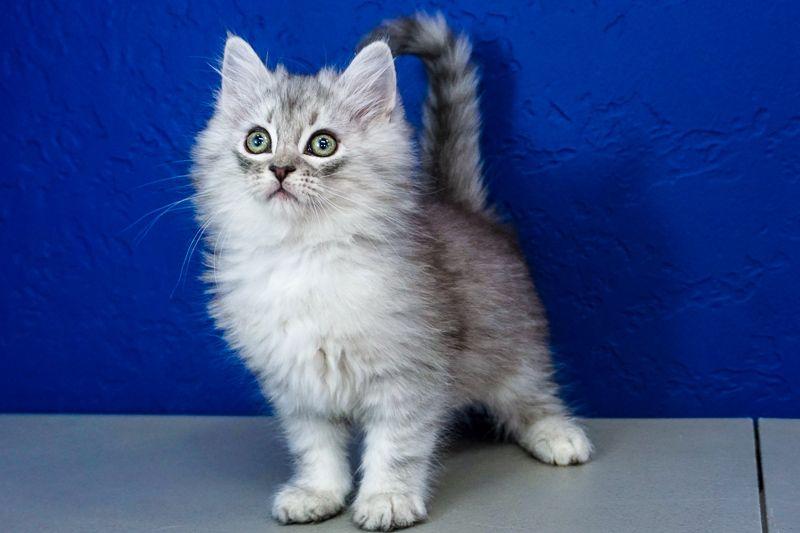 Excellent Kittens For Sale Near Me Kittens Cutest Siberian Kittens Cute Cats