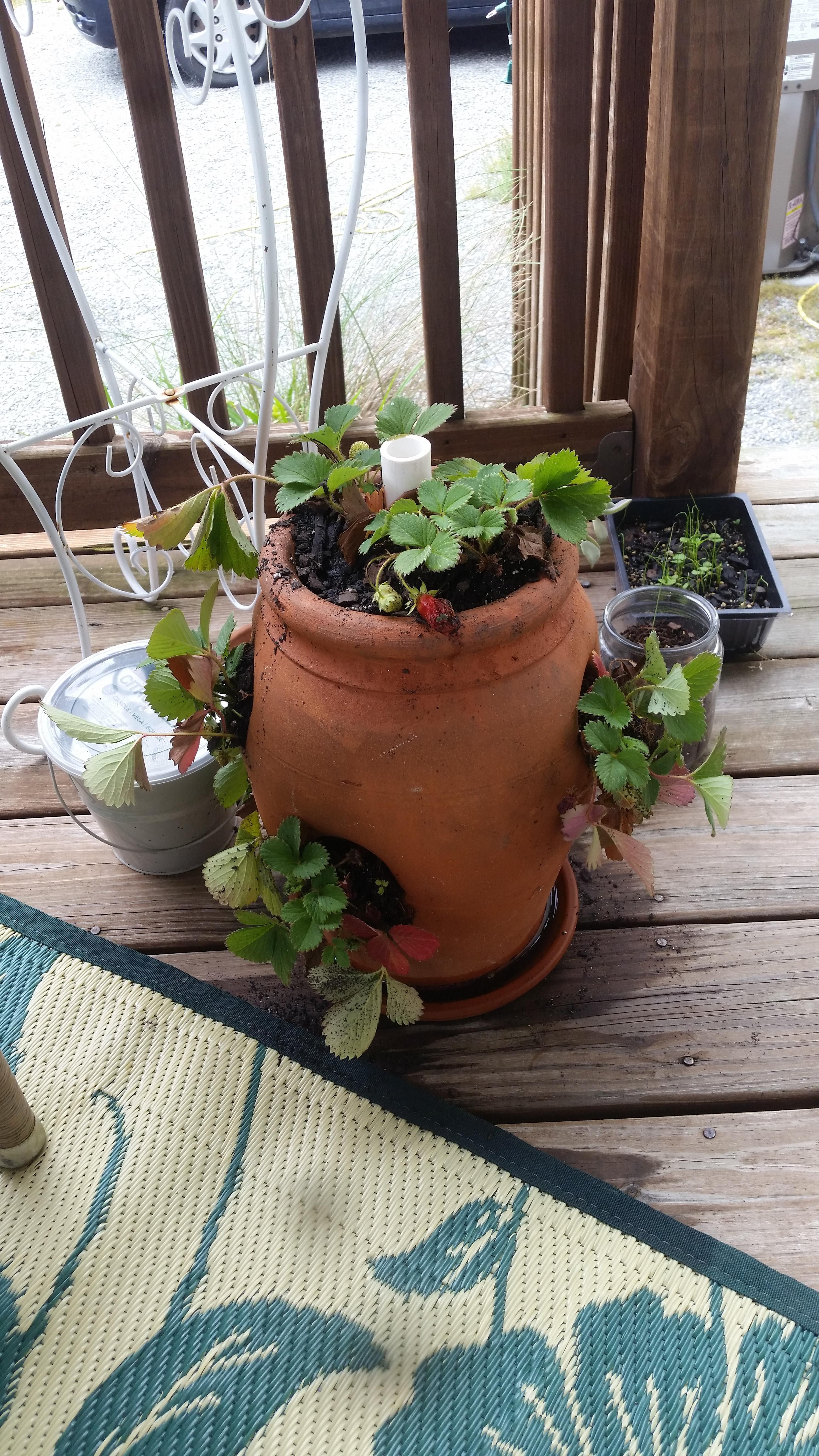 My first time using a strawberry pot for strawberries! #gardening ...