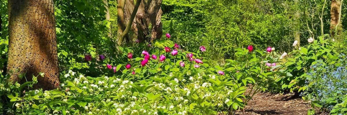 Que Planter Sous Un Arbre Arbre A Feuillage Persistant Vivaces Couvre Sol Geranium Vivace