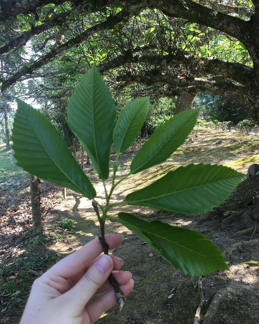 Castanea Sativa Nature Plants Trees Nofilter Plants Plant Leaves Garden