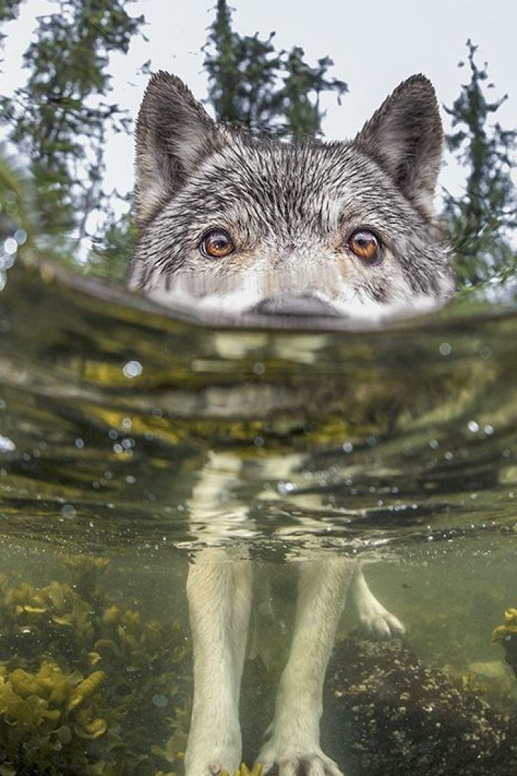 Sea Wolf Photo Shot In B.C. Earns National Geographic Award, photo taken by Ian McAllister of Pacific Wild. He snapped photo last spring while studying spawning herring in Bella Bella. Stunning Photo!!