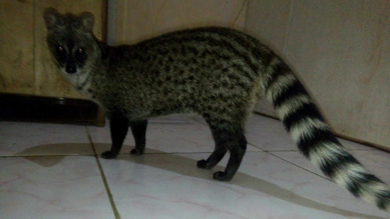 164 Best Dunia Binatang Images Kucing Persia How To Dry Basil