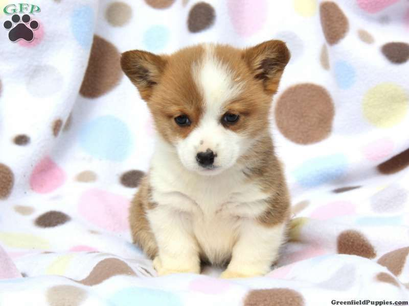 Abby Welsh Corgi Puppy For Sale From Narvon Pa Corgi Board
