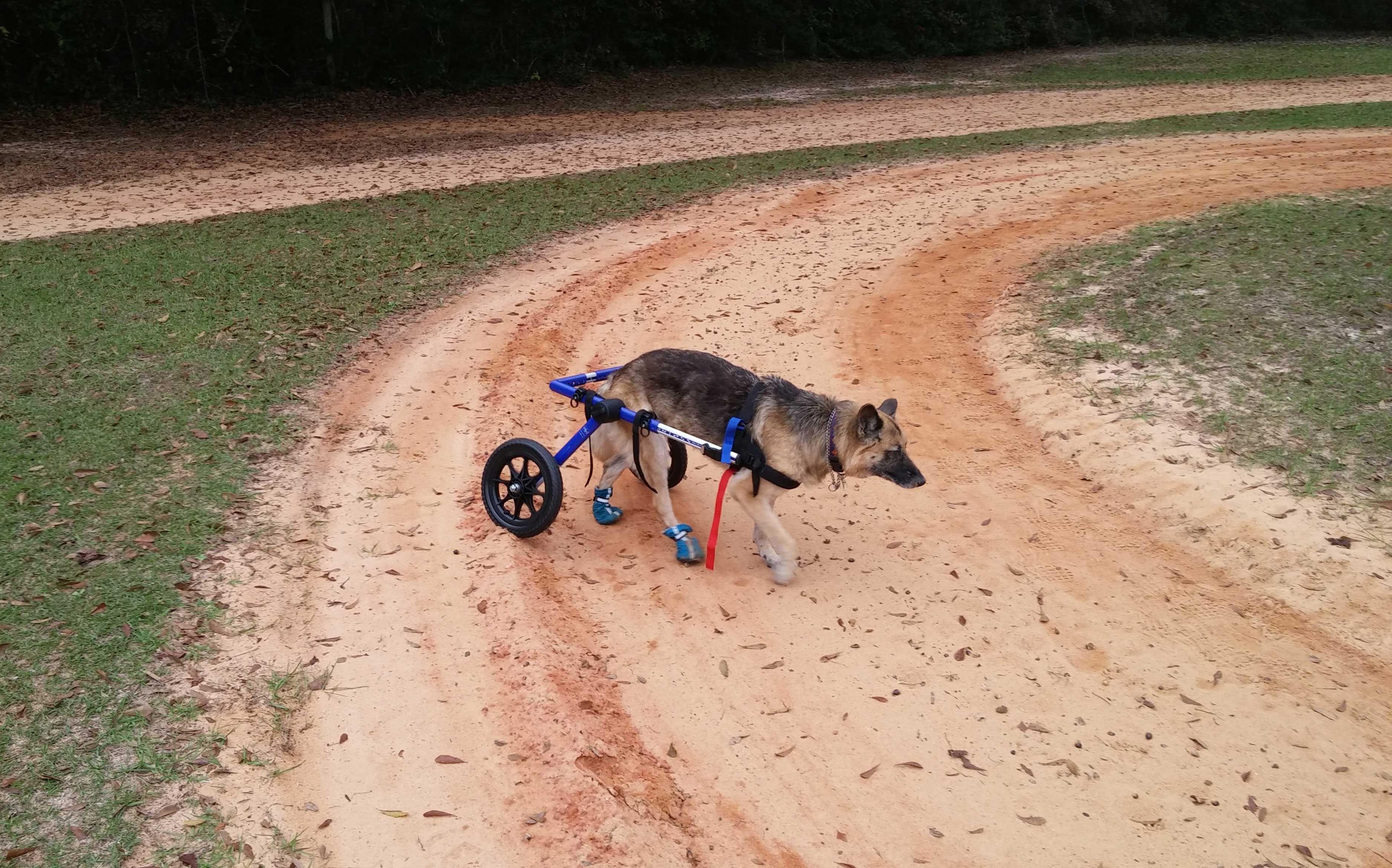 Sillas De Ruedas Para Perros Como Son Silla De Ruedas Para Perro Perros Y Perros Enfermos