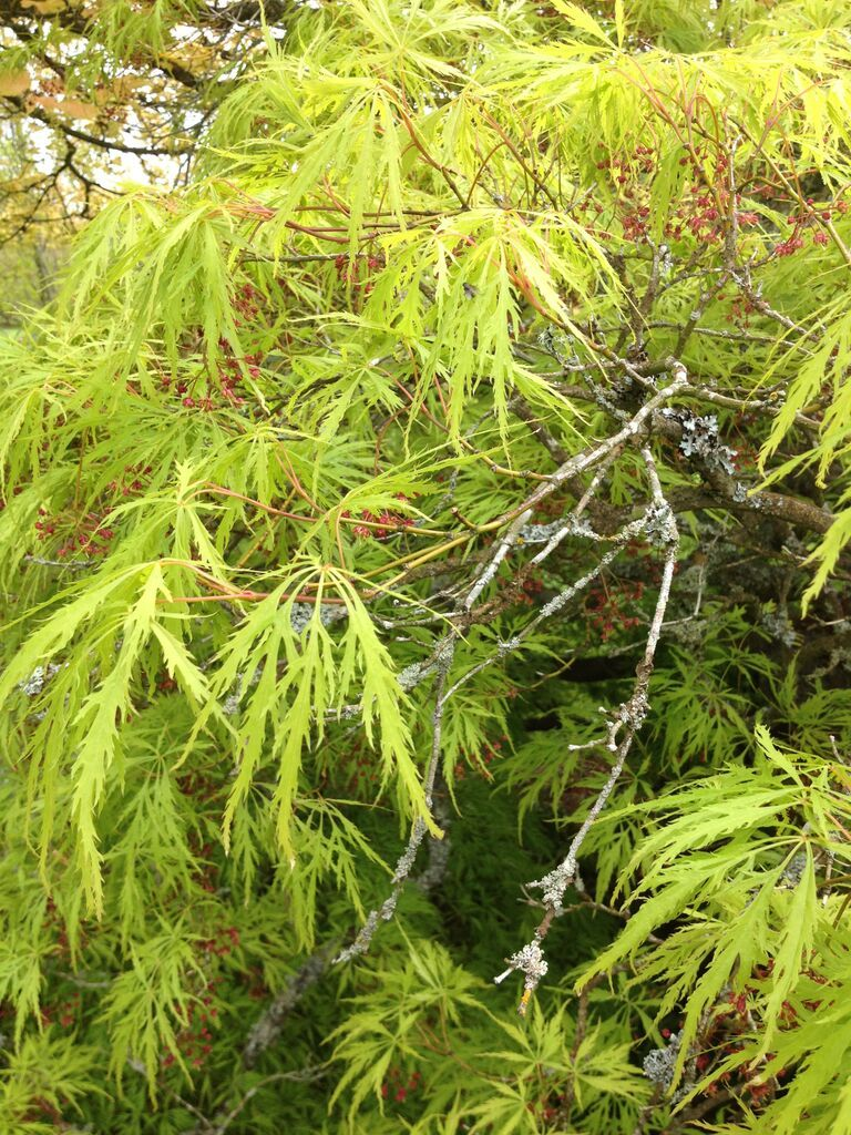 Feather Like Leaves On A Acer Palmatum Amazing Trees Portland