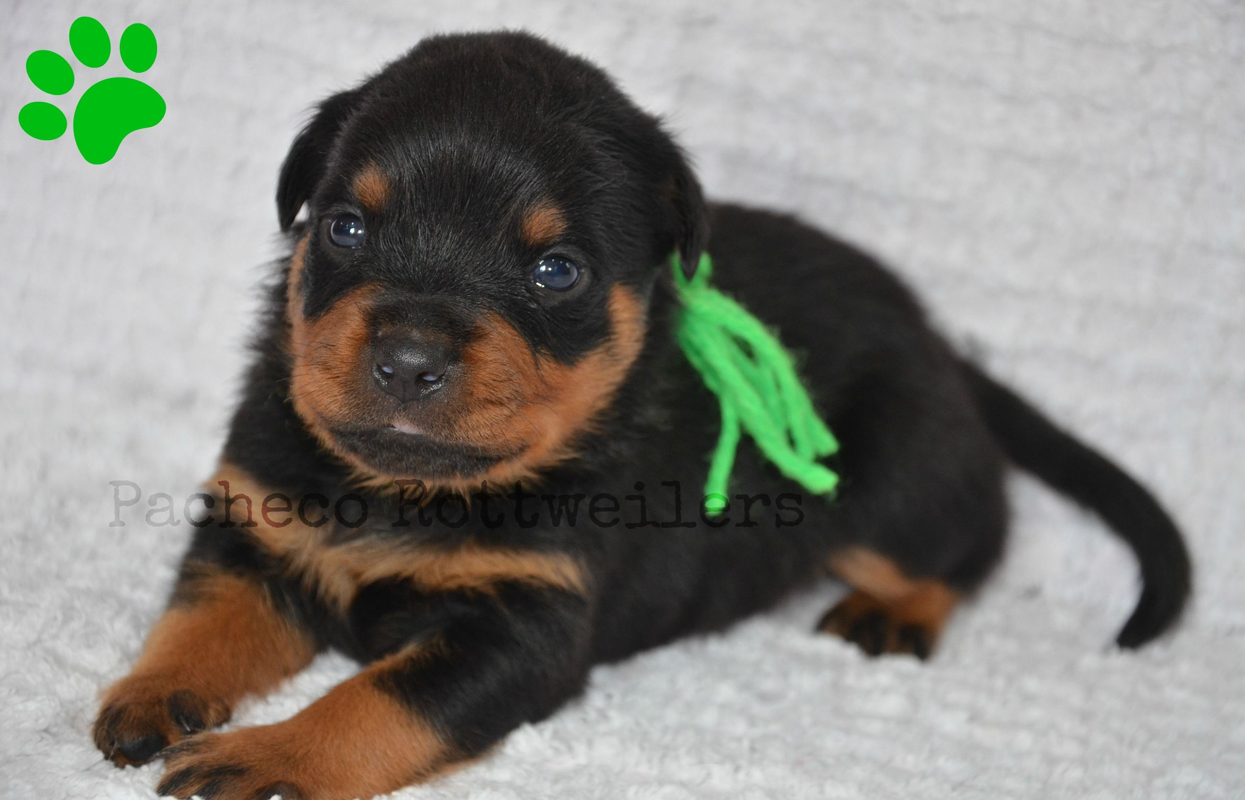Green Male 2 Weeks Old Such A Handsome Guy Puppies Pets Animals