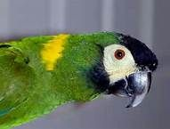 yellow collared mini macaw - Bing Images