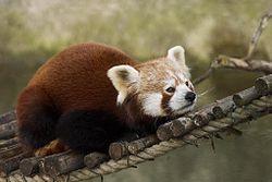 Katzenbaren Kleiner Panda Katzenbar Panda