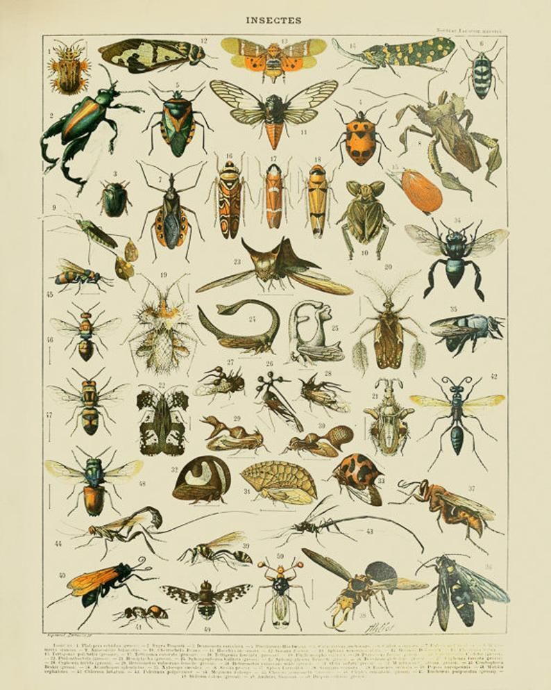 Vintage Insect Print, French Insect Chart Biology Poster Insect Illustration Wall Art Home Decor #vi1004 -   - #Art #Biology #Chart #decor #French #Home #Illustration #Insect #Poster #Print #vi1004 #Vintage #wall
