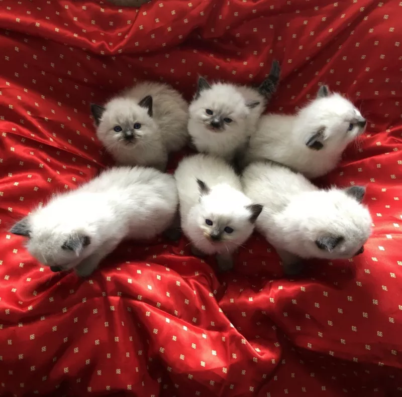 Gorgeous Purebred Ragdoll Kittens Cats And Kittens Kittens
