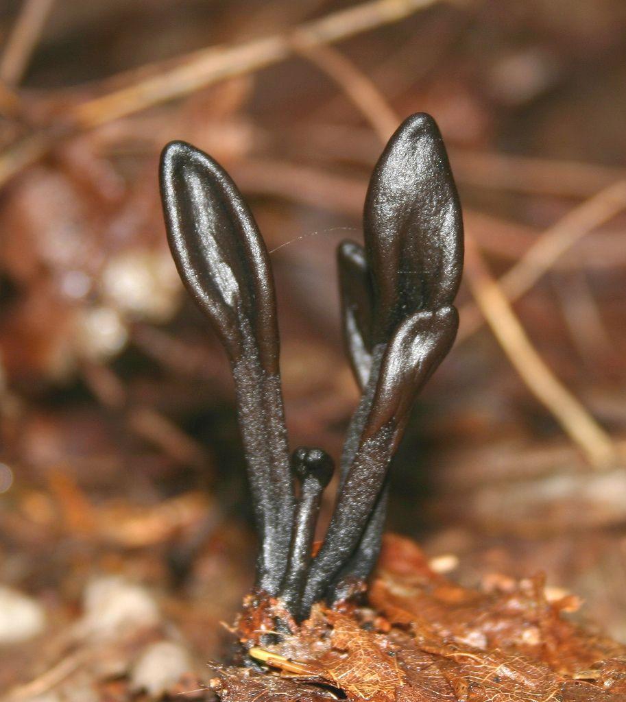 Springpad: Geoglossum glutinosum ...
