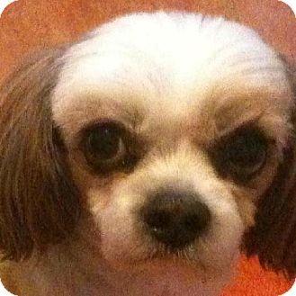 Dallas Ga Shih Tzu Meet Dude A Dog For Adoption Dog