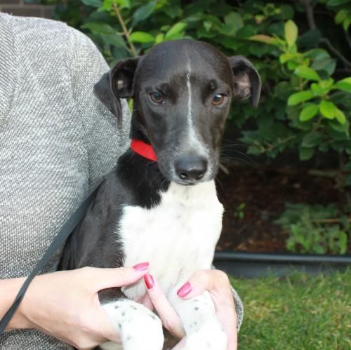 Adopt Benny On Rat Terriers Whippet Mix Whippet