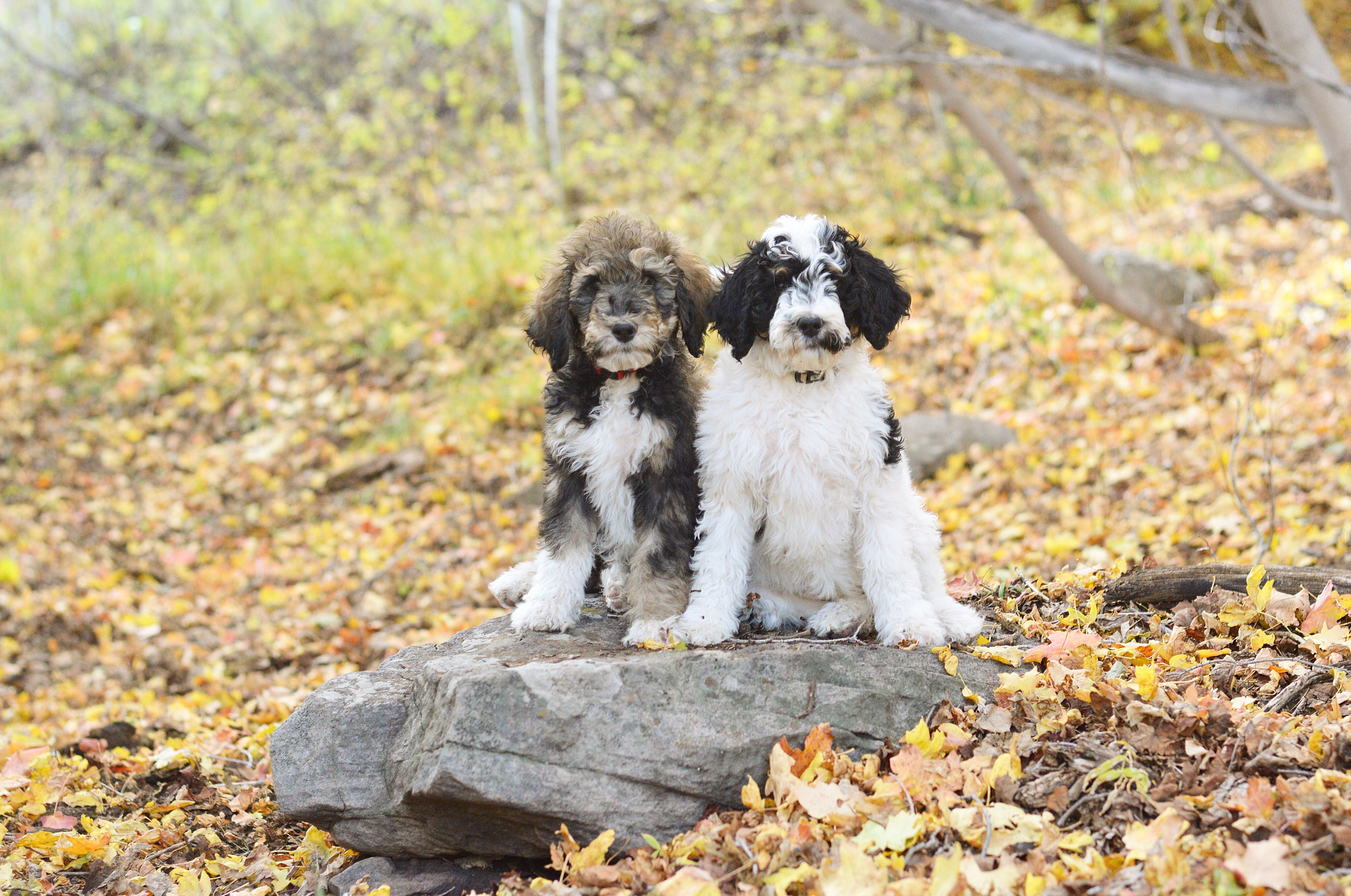 F1b Bernedoodles From Mountain Blue Doodles Animals Dogs