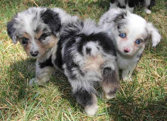 Border Collie Australian Shepherd Mix Puppies For Sale