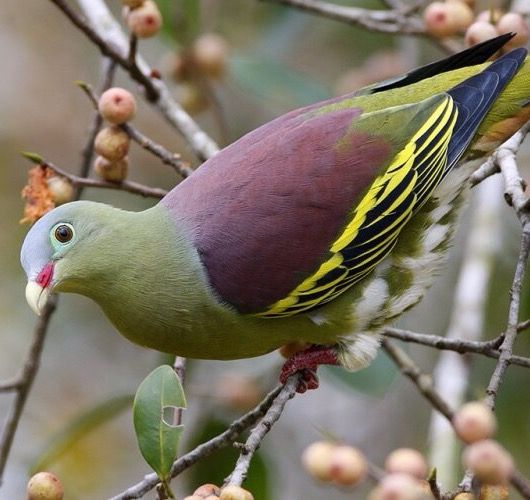 The thick-billed green pigeon is a species of bird in the