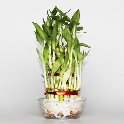 3 Layer Lucky Bamboo Plant in a Bowl with Pebbles Bamboo