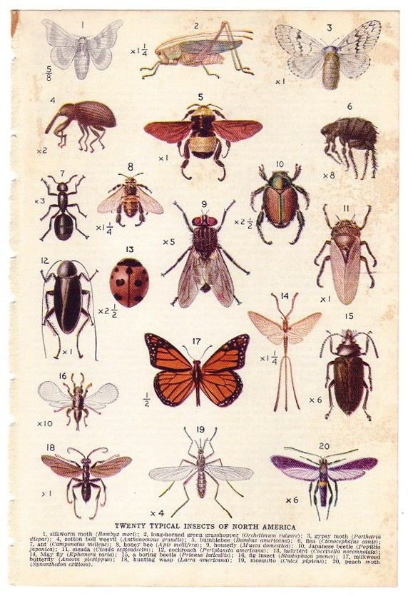 1944 Vintage INSECTS Illustration. $10.00, via Etsy.