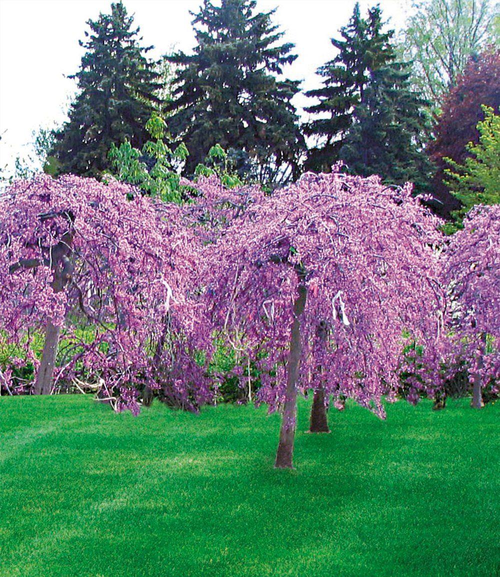 cercis lavender twist 1 pflanze gartencenter sch ne. Black Bedroom Furniture Sets. Home Design Ideas