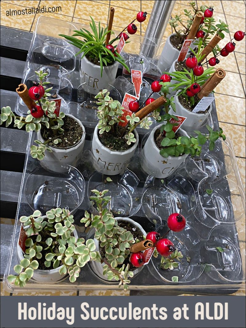 ALDI Finds from holiday succulents to a 30 Ambiano stand