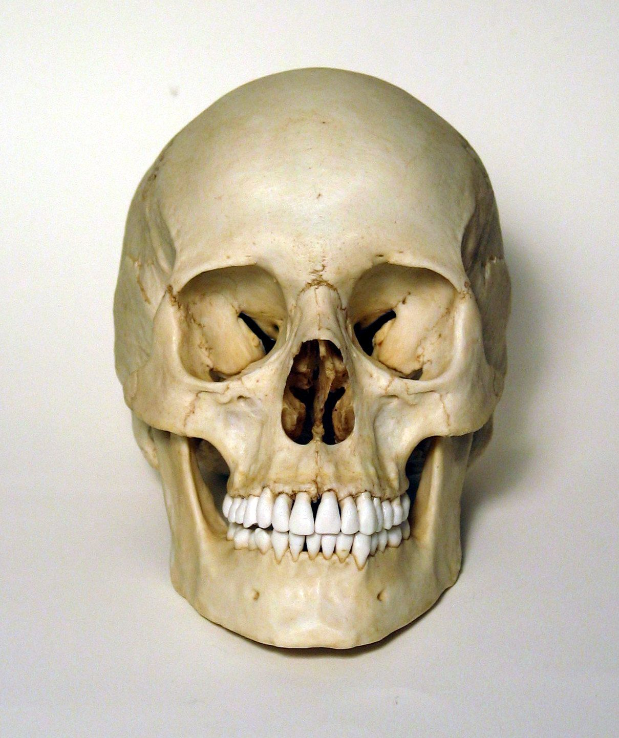 Female human skull replica skulls and bones pinterest human female human skull frontal view photo ccuart Images