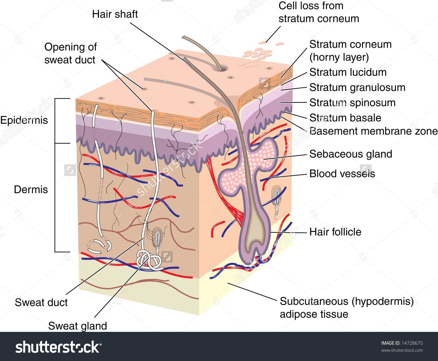 label of the human skin bodies skin structure skin anatomy skin cell diagram label [ 1500 x 1239 Pixel ]