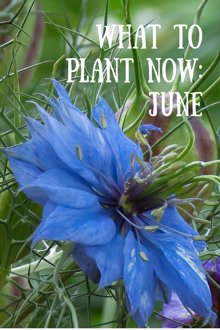 What to plant now june pinterest june plants and flowers summer may be upon us but there are still plenty of vegetable crops and flowers to plant this month here are my top picks for june izmirmasajfo