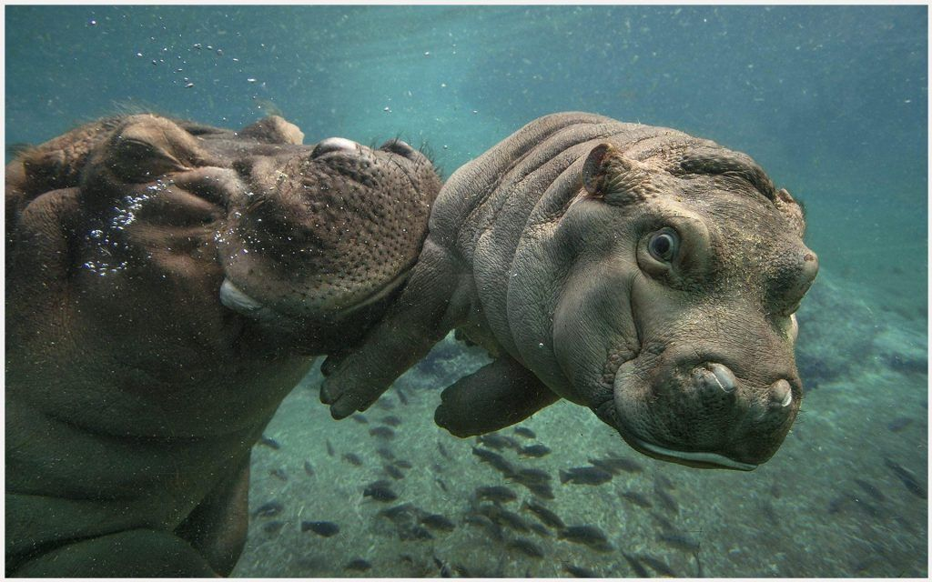 Baby Hippo With Mother Wallpaper Baby Hippo With Mother Wallpaper 1080p Baby Hippo With Mother Wallpaper Deskt Baby Hippo Baby Blanket Animals San Diego Zoo