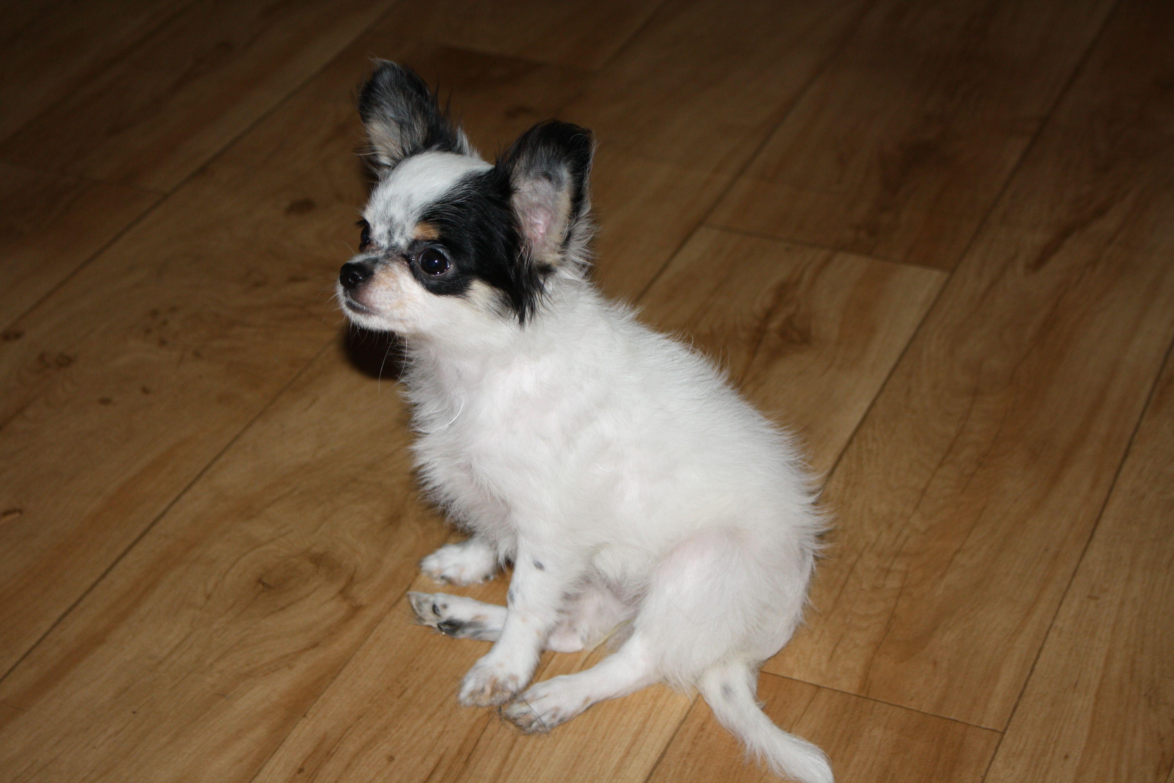 Bonnie Growing Up At 4 Months Chihuahua Corgi Animals