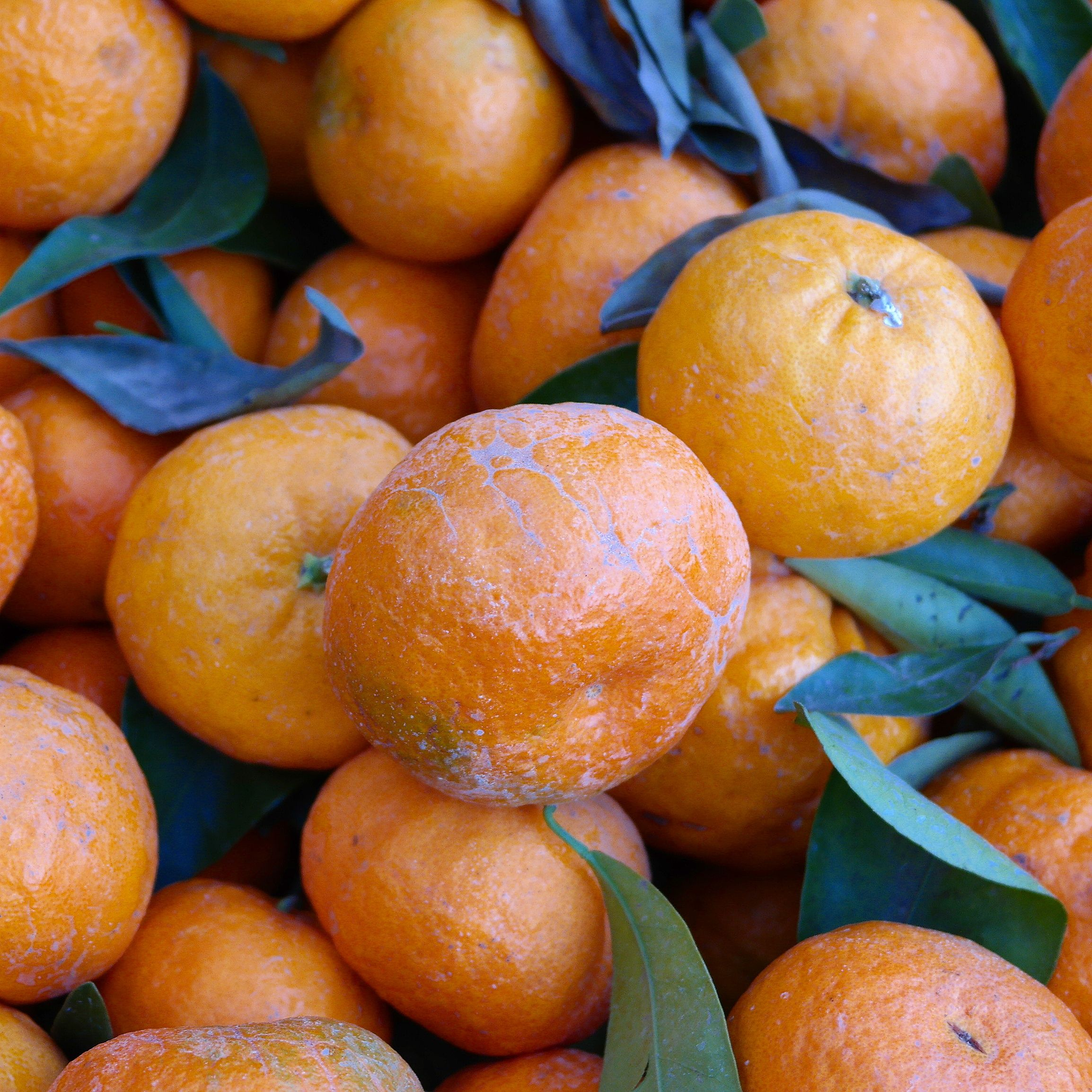 Golden Nugget Mandarins Gold Nugget Is A Recently Released Mandarin Variety Developed Within The Universi Orange Rind Fruit University Of California Riverside